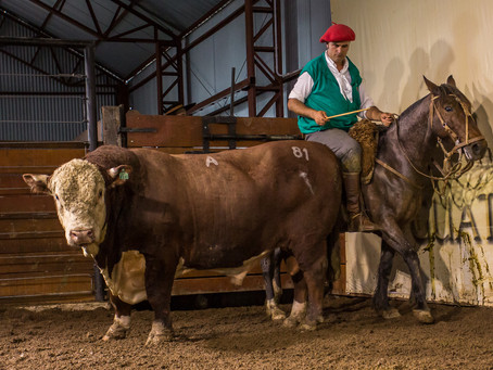 Guatambu, Alvorada e Caty registra recorde de preço na raça Hereford