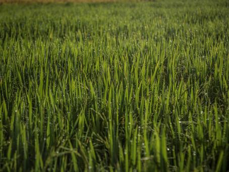 Federarroz avalia que estudo da Conab sobre arroz foi superficial