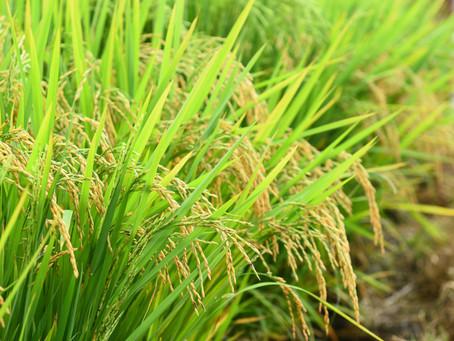 Governo confirma prorrogação de vencimento de custeios do arroz