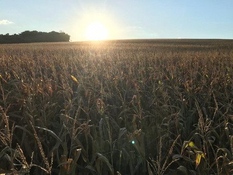 Cooperativas gaúchas apostam em alta produtividade na cultura do milho