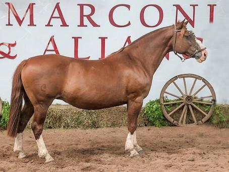 Leilão Marconi & Aliança oferece animais comprovados da raça Crioula