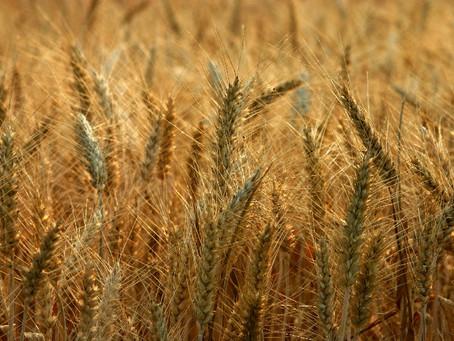 Novo preço mínimo do trigo não vai cobrir alta dos custos