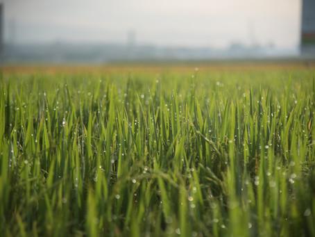 Federarroz faz campanha para redução de área de arroz no Mercosul