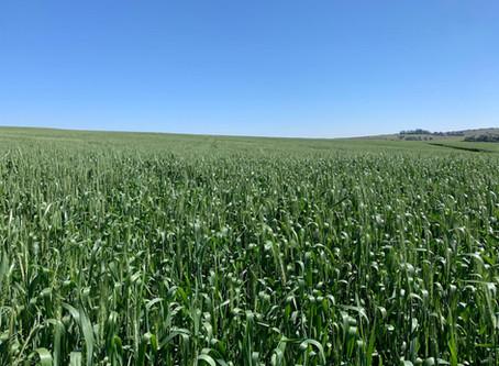 Desenvolvimento da cultura do trigo é satisfatório no Rio Grande do Sul