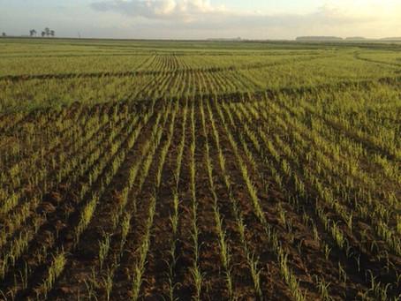 Atraso no plantio requer cuidados na cultura do arroz