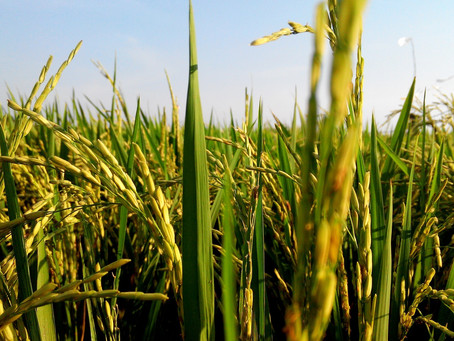Preços do arroz mantém sustentação durante a colheita