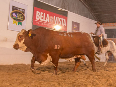 Bela Vista registra recorde em venda de touro Braford
