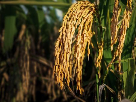 Prognóstico de chuvas para os próximos dias deixa produtores de arroz em alerta
