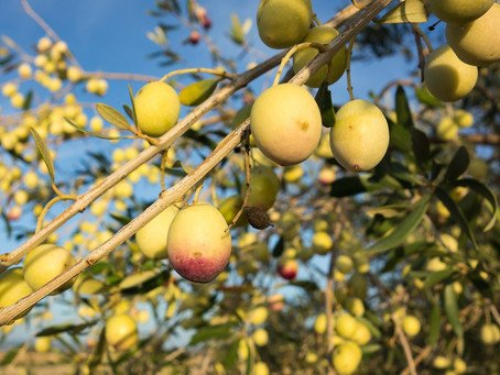 Parceria oportuniza qualificação em olivicultura em Portugal