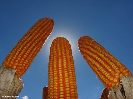 Colheita do milho se encaminha para o final no Rio Grande do Sul
