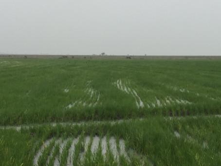 Arrozeiros atingidos pelo excesso de chuvas devem encaminhar renegociação