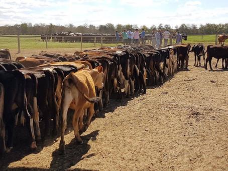 Fazenda no sudoeste baiano aplica método neozelandês na produção de leite