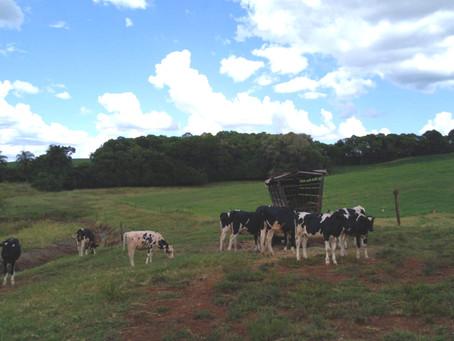 Levantamento aponta prejuízos da estiagem à produção gaúcha de leite