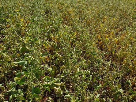 Novo levantamento da RTC aponta perda de 47% na safra de soja gaúcha