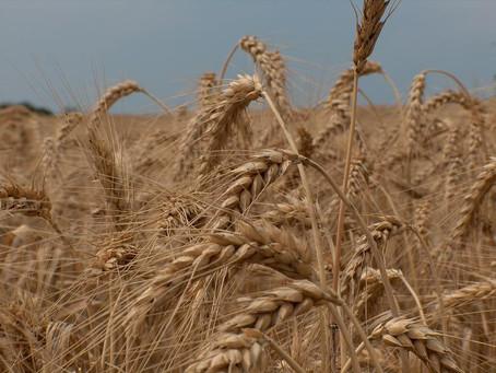 Continuidade das chuvas preocupam produtores de trigo