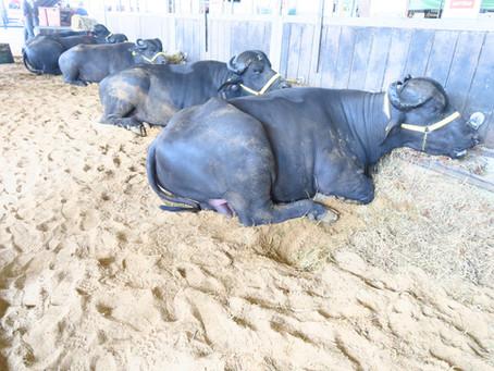 Cuidados com bem-estar são importantes para animais participantes da Expointer