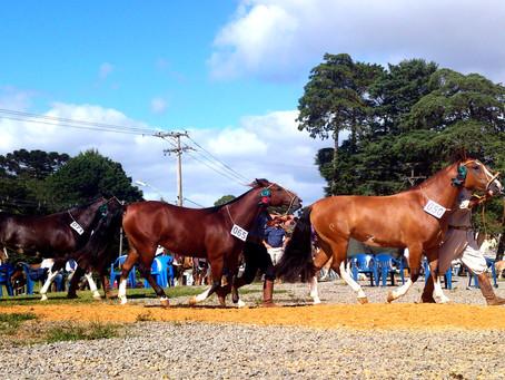 Cavalos de pelagem manchada crescem no cenário de exposições