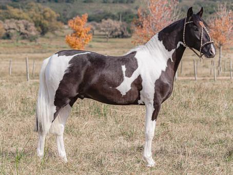 Norte e Nordeste buscam genética gaúcha do Cavalo Crioulo em remate