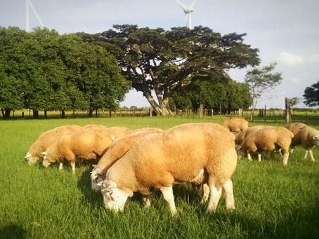 Exames e conhecimento sobre linhagem ajudam na escolha de ovinos
