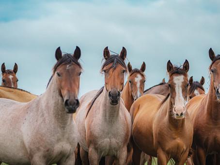 Novos mercados e liquidez marcam primeiro semestre de vendas do Cavalo Crioulo