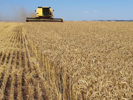 Cooperativa aposta na qualidade do trigo gaúcho para ampliar mercados