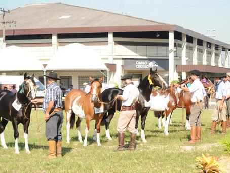 Cavalos de pelagem manchada se destacam em exposições de Crioulos