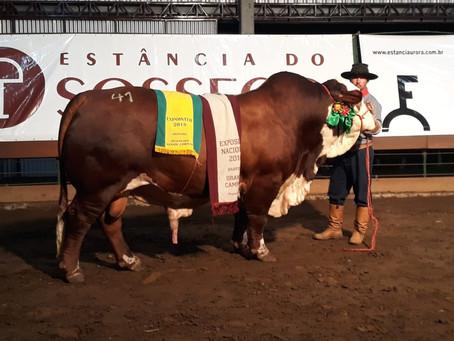 Leilão Aurora e Sossego oferta campeões da raça Braford