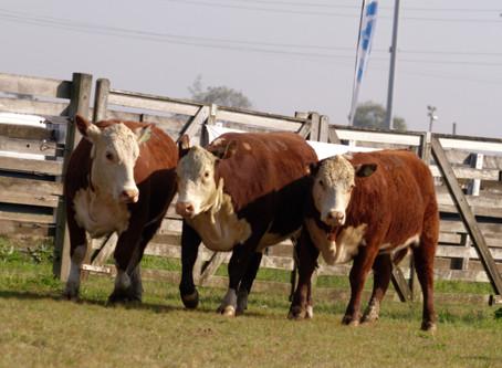 Melhoramento genético em bovinos é tema de Webinar da ABHB