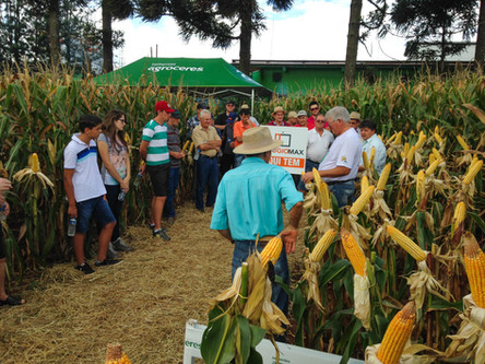 Cotrisoja realiza Dia de Campo sobre altas produtividades de milho