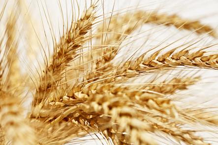 Dia de Campo vai debater novos cenários para o trigo gaúcho