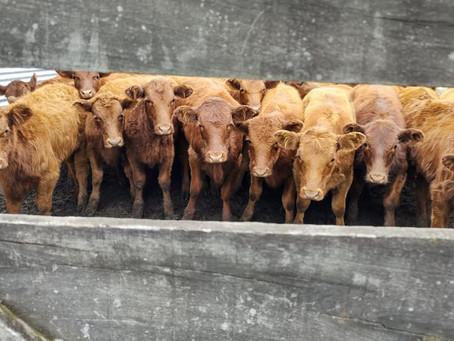 Leiloeiras formam aliança para comercialização de gado geral