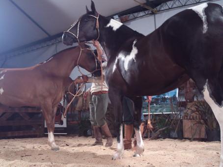 Cavalos de pelagem manchada estão em alta no mundo