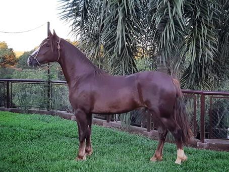 Cavalos Crioulos brasileiros são comercializados para a Bolívia