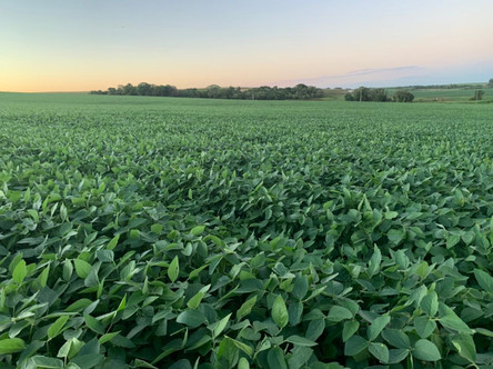 Cooperativas agropecuárias gaúchas apostam na soja para recuperar perdas