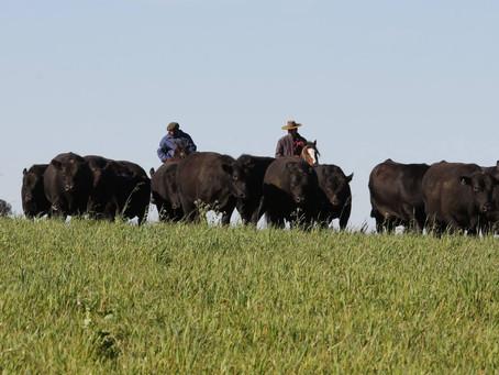 Leilão Capanegra coloca em pista bovinos das raças Angus e Brangus