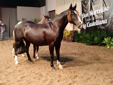 Mercado da raça Crioula vem atraindo usuários do cavalo