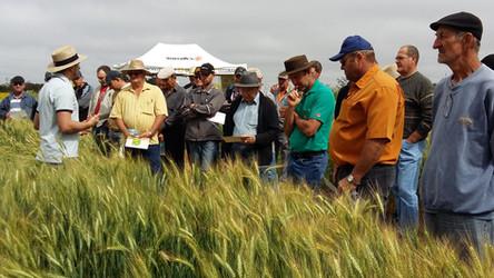 Cotrirosa realiza Dia de Campo sobre trigo