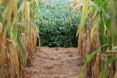 Custos da soja e do milho têm elevação de 50% no período de 12 meses