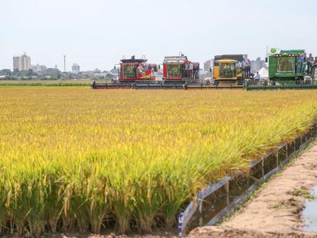 Custos e preços preocupam produtores de arroz para a colheita