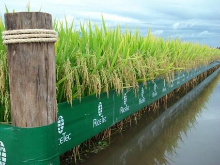 RiceTec garante aumento da cotação no ato da compra de suas sementes