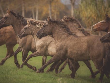 Cavalo Crioulo brasileiro se destaca no mercado externo e realiza negócios