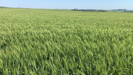 Colheita gaúcha do trigo inicia com perspectiva de bom potencial produtivo