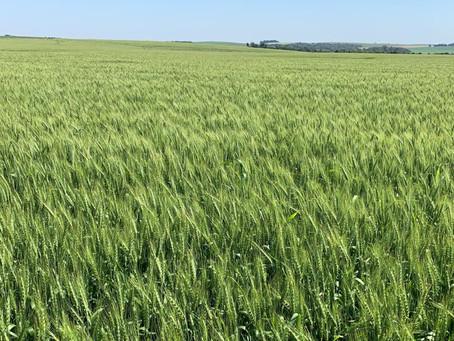 Colheita gaúcha do trigo deve iniciar com perspectiva de bom potencial produtivo