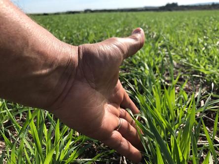 Falta de chuvas atrasa desenvolvimento da lavoura de trigo no Rio Grande do Sul