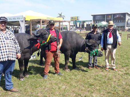 Julgamento dos búfalos na Expointer evidencia qualidades da espécie