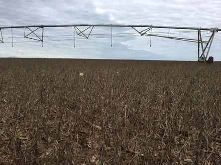 Prognóstico de chuvas traz preocupação para o trigo