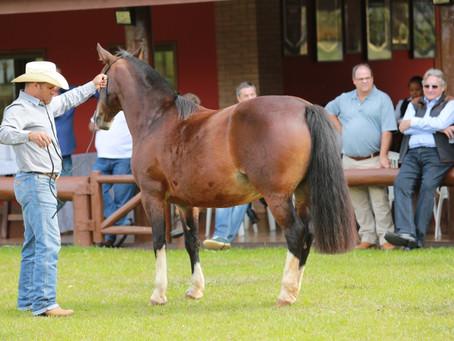 Criadores mineiros de cavalos Crioulos investem em qualificação profissional