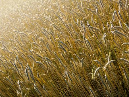 Safra de trigo prejudicada pelo clima traz recuo de preço ao produtor