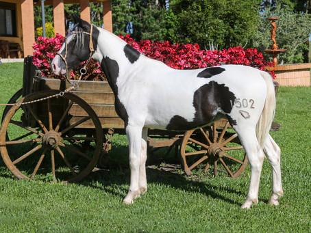 Mancha Crioula traz destaques do Cavalo Crioulo em leilão