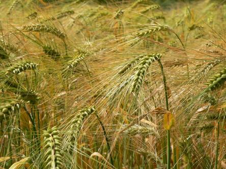 Produtores poderão renegociar dívidas do custeio do trigo